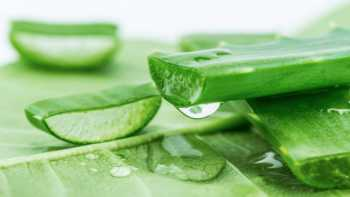 Aloe for Dry Eye? -- Close up of cut aloe leaf and drop of aloe gel